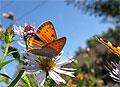 Самки бабочек-червонцев отвергают самцов, складывая крылья