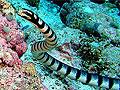 Самки морских змей продемонстрировали склонность к единобрачию