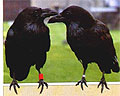 Ссоры у воронов заканчиваются примирением с «поцелуями»