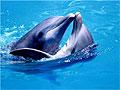 Самцы дельфинов помогают друг другу ухаживать за самками