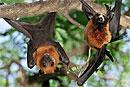 Летучие мыши-крыланы практикуют оральный секс