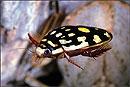 Сперматозоид как замена павлиньему хвосту, или Чем отличаются друг от друга жуки-плавунцы