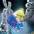 Японские исследователи обнаружили ген, связанный с мужским бесплодием