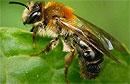 Пчелиный яд способен убить ВИЧ-инфекцию