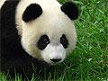 Почему панды не любят секс?