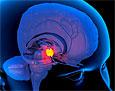 За секс и агрессию отвечает один участок мозга