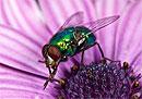 Самки мух питаются спермой своих самцов