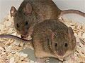 Впервые в истории: у двух самок мышей появилось потомство