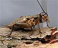 Сверчки защищают своих самок от хищников ценой собственной жизни