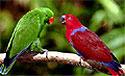 Самки попугаев решают, быть или не быть половому отбору
