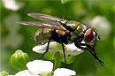 Самцы мухи-дрозофилы склонны в отсутствие секса искать ему замену