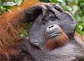 Самцы орангутангов задерживают собственное половое созревание