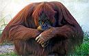 У шимпанзе и орангутангов тоже бывает кризис среднего возраста