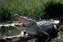 У самцов аллигаторов вечная эрекция