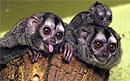 Ночным обезьянам невыгодны супружеские измены