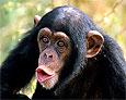 Употребление в пищу мяса обезьян может привести к распространению нового вида ВИЧ